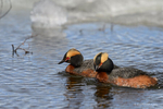 Manitoba, Canada(Podiceps auritus)Image No: 17-011656  Click HERE to Add to Cart