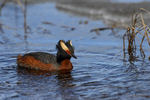Manitoba, Canada(Podiceps auritus)Image No: 17-011731  Click HERE to Add to Cart