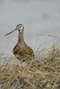 Manitoba, Canada(Limosa haemastica)Image No: 13-015413Click HERE to Add to Cart