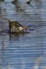 Manitoba, Canada(Limosa haemastica)Image No: 17-014211   Click HERE to Add to Cart