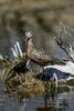 Manitoba, Canada(Limosa haemastica)Image No: 17-014276  Click HERE to Add to Cart