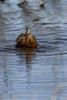 Manitoba, Canada(Limosa haemastica)Image No: 17-013700  Click HERE to Add to Cart