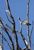 Alberta, Canada(Bombycilla cadrorum)Image No: 18-016151 Click HERE to Add to Cart
