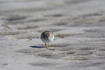 St. Petersburg, Florida(Calidris minutilla) Image No: 20-000776 Click HERE to Add to Cart