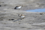 St. Petersburg, Florida(Calidris minutilla) Image No: 20-000805  Click HERE to Add to Cart