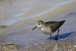 McNeal, Arizona(Calidris minutilla) Image No: 20-001613  Click HERE to Add to Cart
