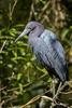 Naples, Florida, USA(Egretta caerulea)Image No: 14-007546  Click HERE to Add to Cart