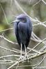 Florida(Egretta caerulea)Image No: 15-000995  Click HERE to Add to Cart