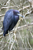 Florida(Egretta caerulea)Image No: 15-000958  Click HERE to Add to Cart
