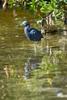 Florida(Egretta caerulea)Image No: 15-001820  Click HERE to Add to Cart