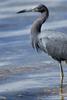 Florida(Egretta caerulea)Image No: 15-001840  Click HERE to Add to Cart
