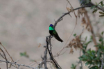 Green Valley, AZ(Eugenes fulgens)Image No: 21-001560Click HERE to Add to Cart