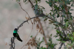 Green Valley, AZ(Eugenes fulgens)Image No: 21-001565Click HERE to Add to Cart