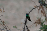 Green Valley, AZ(Eugenes fulgens)Image No: 21-001574Click HERE to Add to Cart