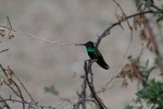 Green Valley, AZ(Eugenes fulgens)Image No: 21-001604Click HERE to Add to Cart