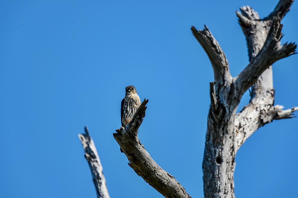 (Falco columbarius)Image No: 13-009451 Click HERE to Add to Cart