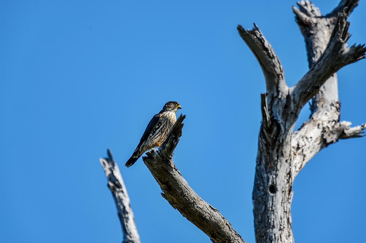 (Falco columbarius)Image No: 13-009458 Click HERE to Add to Cart