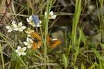 (Boloria napaea  + Cupido amyntula)Wildlife photographs from AlaskaImage No: 16-028041  Click HERE to Add to Cart