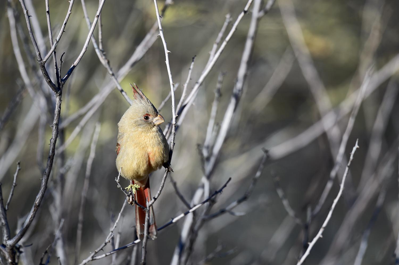 (Cardinalis cardinalis)FemaleImage No: 19-001307    Click HERE to Add to Cart