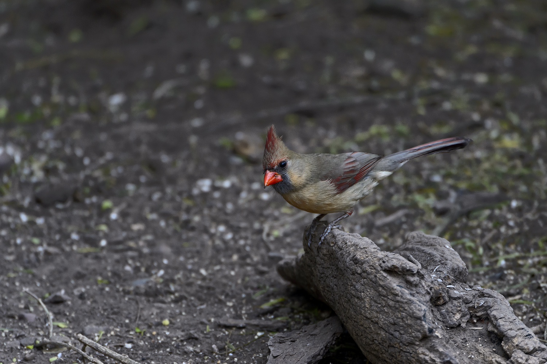 (Cardinalis cardinalis)Image No: 18-001516   Click HERE to Add to Cart