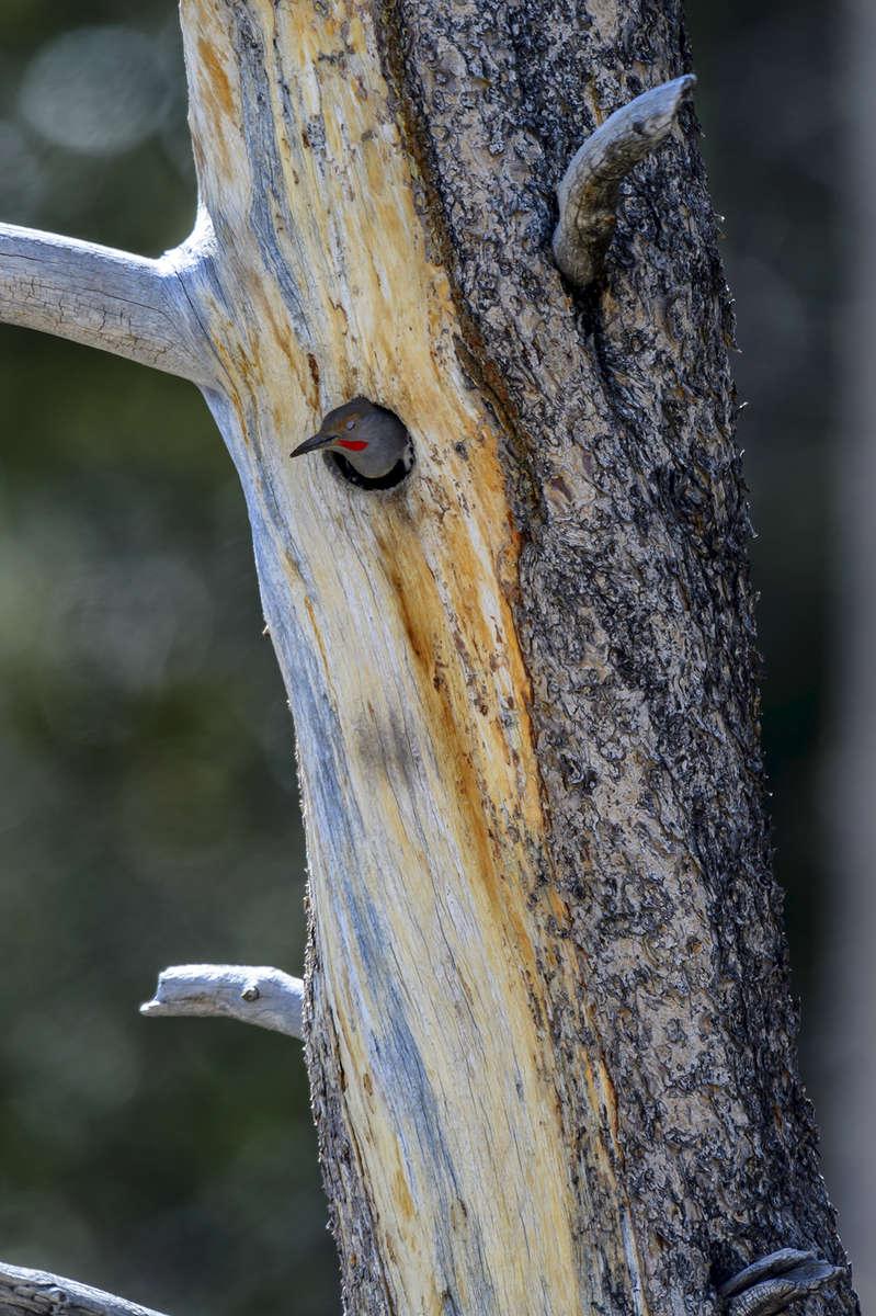 (Setophaga americna)Image No: 17-009502  Click HERE to Add to Cart