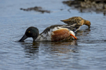 Northern-Shoveler-_Anas-clypeata_-Churchill-MB-RKing-17-011928-vv