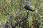 Mission, Texas(Pandion haliaetus) Image No: 20-000902  Click HERE to Add to Cart