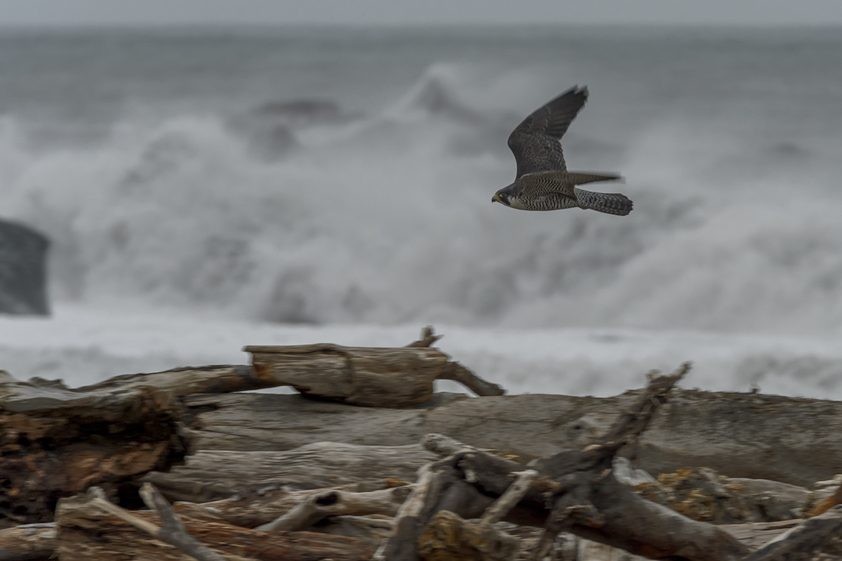(Falco peregrinus)Wildlife photographs from Redwood National Park, CAImage No: 16-006056  Click HERE to Add to Cart