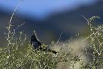 Apache Junction, Arizona(Phainopepla nitens) Image No: 20-003231  Click HERE to Add to Cart