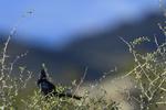 Apache Junction, Arizona(Phainopepla nitens) Image No: 20-003241  Click HERE to Add to Cart
