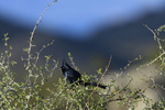 Apache Junction, Arizona(Phainopepla nitens) Image No: 20-003243  Click HERE to Add to Cart