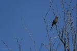 Apache Junction, Arizona(Phainopepla nitens) Image No: 20-003256  Click HERE to Add to Cart