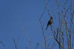 Apache Junction, Arizona(Phainopepla nitens) Image No: 20-003257  Click HERE to Add to Cart