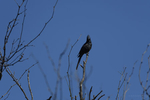 Apache Junction, Arizona(Phainopepla nitens) Image No: 20-003268  Click HERE to Add to Cart