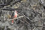 Patagonia, Arizona(Cardinalis sinuatus) Image No: 20-001897 Click HERE to Add to Cart