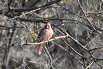 Patagonia, Arizona(Cardinalis sinuatus) Image No: 20-001903 Click HERE to Add to Cart