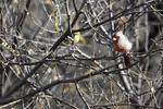 Patagonia, Arizona(Cardinalis sinuatus) Image No: 20-001916 Click HERE to Add to Cart