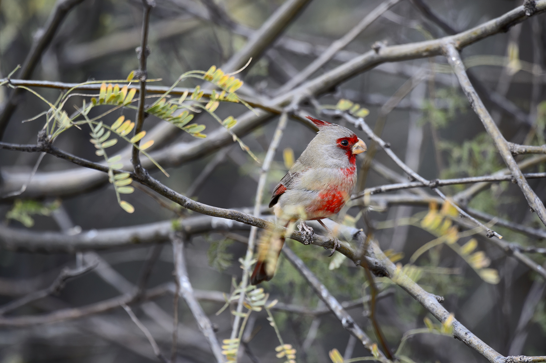 (Cardinalis sinuatus)Image No: 19-001069   Click HERE to Add to Cart