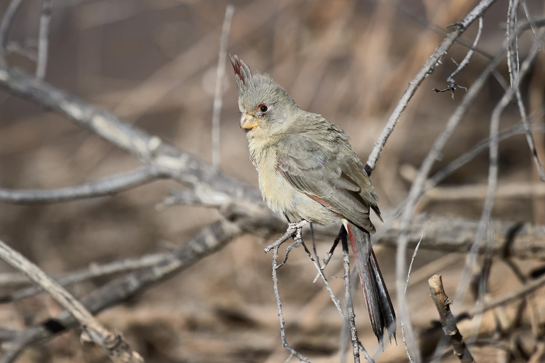 Arizona(Cardinalis sinuatus) aka Desert CardinalImage No: 18-003001  Click HERE to Add to Cart
