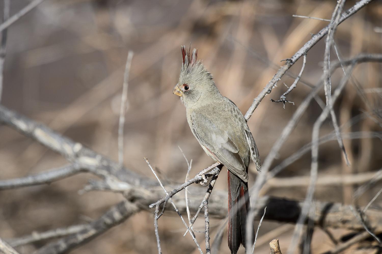 (Cardinalis sinuatus) aka Desert CardinalImage No: 18-003004  Click HERE to Add to Cart