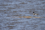 Red-breasted-Merganser-_Mergus-serrator_-Churchill-MB-RKing-17-013086-vv