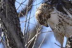 McNeal, Arizona(Buteo jamaicensis) Image No: 20-001772  Click HERE to Add to Cart