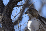 McNeal, Arizona(Buteo jamaicensis) Image No: 20-001778  Click HERE to Add to Cart