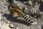 Arizona(Bassariscus astutus)Image No: 18-004185   Click HERE to Add to Cart