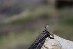 Patagonia, Arizona(Salpinctes obsoletus) Image No: 20-001809  Click HERE to Add to Cart