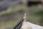Patagonia, Arizona(Salpinctes obsoletus) Image No: 20-001816  Click HERE to Add to Cart