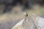 Patagonia, Arizona(Salpinctes obsoletus) Image No: 20-001848  Click HERE to Add to Cart