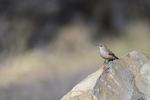 Patagonia, Arizona(Salpinctes obsoletus) Image No: 20-001850  Click HERE to Add to Cart