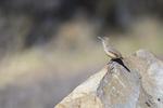 Patagonia, Arizona(Salpinctes obsoletus) Image No: 20-001853  Click HERE to Add to Cart