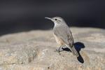 Patagonia, Arizona(Salpinctes obsoletus) Image No: 20-002193  Click HERE to Add to Cart